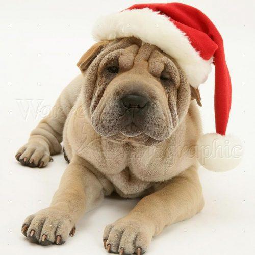 19997-Shar-pei-pup-wearing-a-Santa-hat-white-background